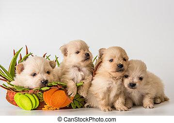 Four puppy of breed a Pomeranian spitz-dog in studio