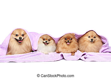 four puppy spitz dog under a blanket