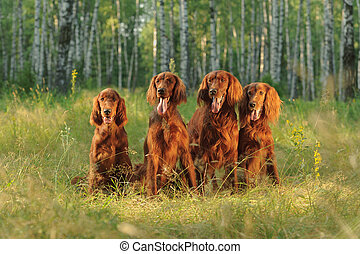 Four red dogs sit on background of green grass in rays of sunset