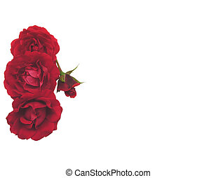 Four red roses on the left side of white background