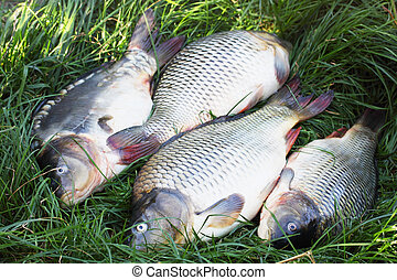 four river carp on the grass
