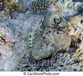 Four-Saddle Grouper fish may be found singly on shallow...