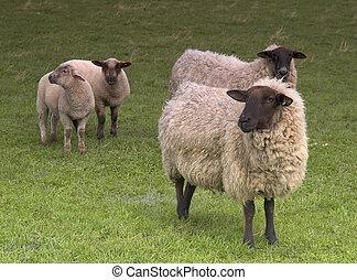 Four Sheep - Four sheep two adults and two lambs