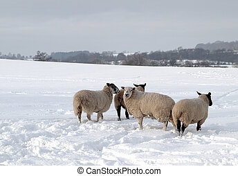 Four Sheep in the Snow