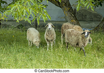four sheep on a green meadow