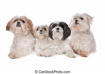 Four small dogs - Four maltese, shih tzu dogs in front of a...