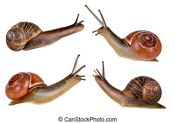 Four snails - Combi image of four isolated garden snails