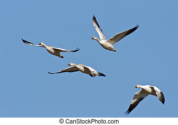 Four Snow Geese In Flight - Four Snow Geese flying against a...