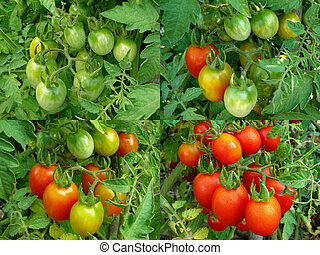 four stages of tomatoes ripening collection