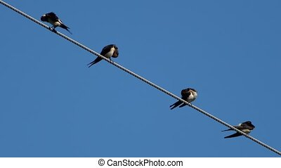 Four swallows over high power cable cleaning themselves -...