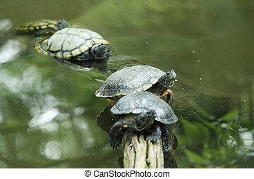 four turtles aligned in tree root with focus on second turtle only