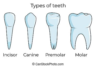 Four types of human teeth isolated on white background vector illustration