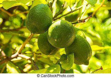 Four unripe green lemon on the tree