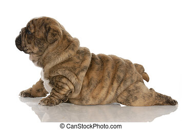 four week old brindle english bulldog puppy with reflection on white background