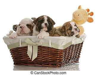 four week old english bulldog puppies in a wicker basket ...