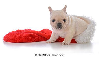 four week old french bulldog
