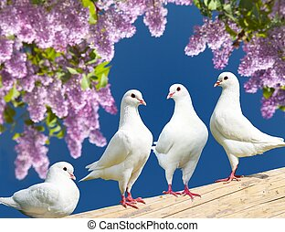 four white pigeons on perch with flowering lilac tree -...