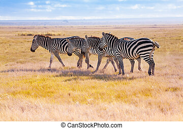 Four zebras walking in the wilderness of Africa