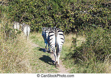 Four Zebras Wander up Hiking Trail in Nature Reserve