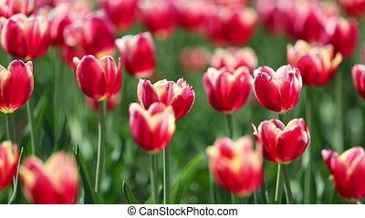 fourgon, variétés, tulipes, der, peu profond, -, marque, champ, profondeur, fleurir, leen, blanc, frontière, rouges