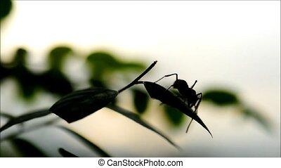 fourmi, feuilles