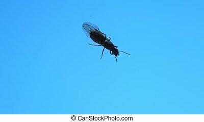 fourmi, reine noire, jardin, ailé