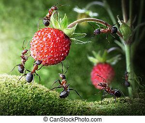 fourmis, collaboration, fraise, équipe, sauvage, cueillette,...