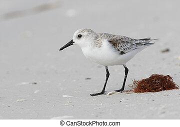 fourrager, floride, -, sanderling, automne, plage