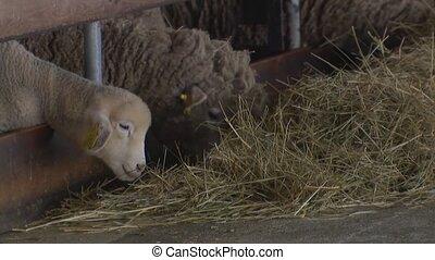fourrure, tonte, peau mouton, sheep., farm.