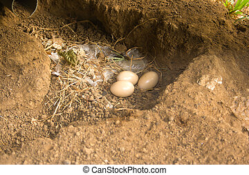 Fowl eggs on the ground.