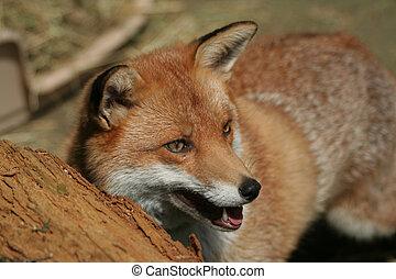 Fox - A red fox