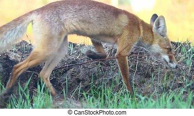 fox catches mice on a sunny autumn morning, autumn period