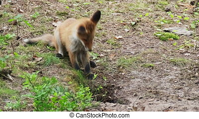 Playful fox cub trying to catch sibling peeking out from burrow while playing in forest together