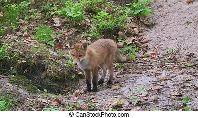 Furry fox cub sniffing ground and looking around while following trail of prey during hunt in forest