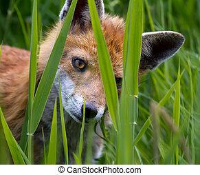 Fox Cub peering through long grass