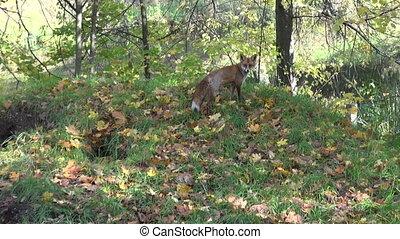 fox in beautiful autumn forest - fox in beautiful autumn...