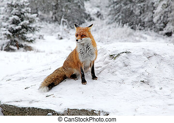 Fox in forest at High Tatras, Slovakia - Fox in forest at...