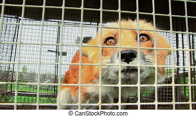 Fox In The Cage - Young fox in the cage