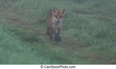 fox in the early morning