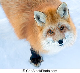 Fox is Looking Up at the Camera - A fox standing on snow is...