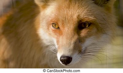 Fox muzzle in rays of evening light - Muzzle of the red fox...