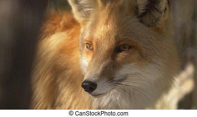 Fox muzzle in rays of evening light Slow motion - Muzzle of...
