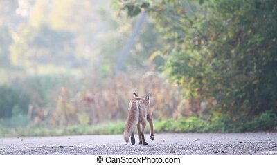 fox on the autumn road sniffs the ground and runs away,...