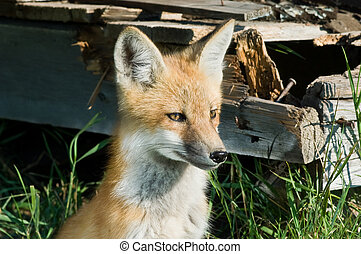 Fox staring intently, sitting near an abandoned building