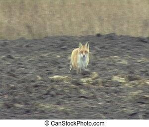 Fox run plowed field - Fox runs through plowed agricultural...