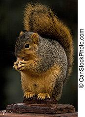 Fox Squirrel Eating A Nut