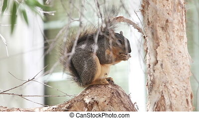 Fox squirrel eating seeds on tree