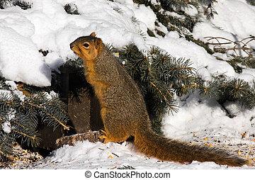 Fox Squirrel In Winter