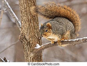 Fox squirrel, Sciurus niger, in a tree