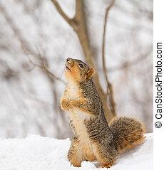 Fox Squirrel, Sciurus niger - Fox squirrel, Sciurus niger,...